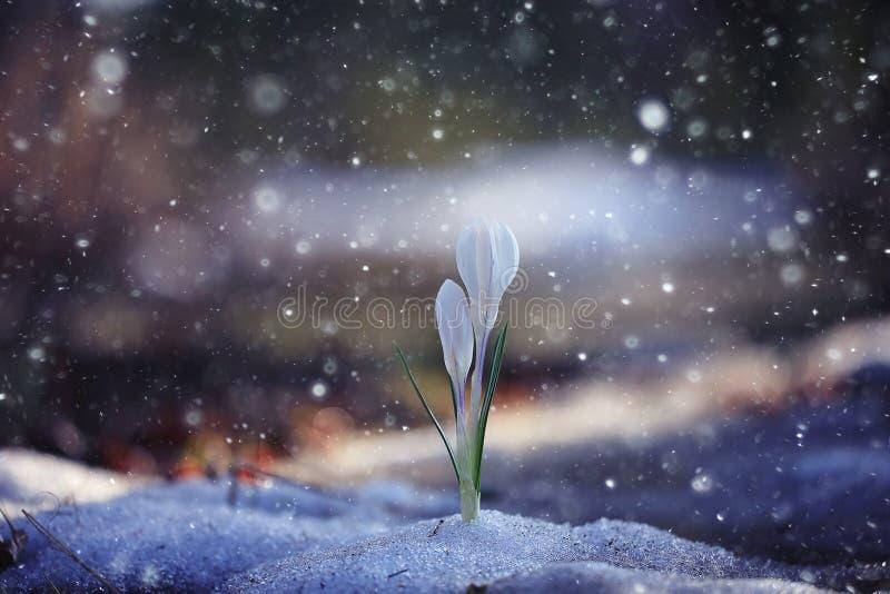 Crocus de perce-neige photographie stock libre de droits