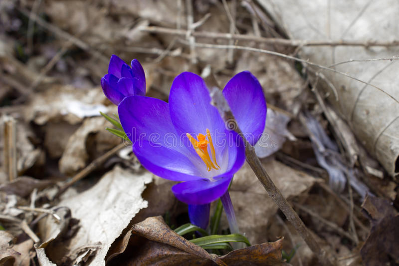 A crocus on dead leaves stock images