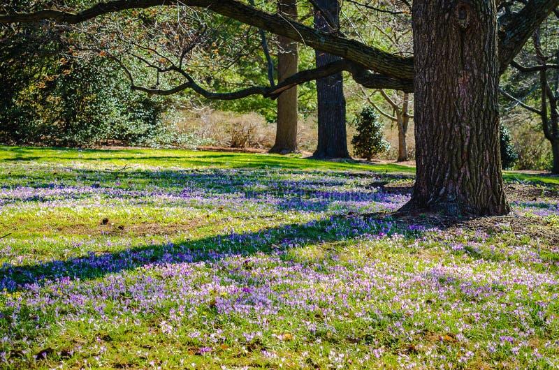 Crocus Field - Longwood Gardens - PA. Field of purple crocus & x28;crocus sativus& x29; flowers, early spring blossoms, under oak trees at Longwood Gardens, an royalty free stock image