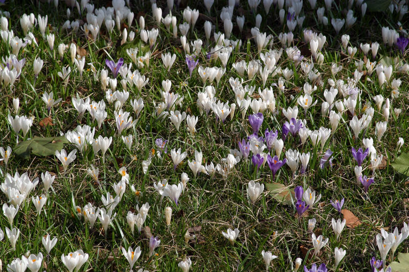 Crocus fields royalty free stock image