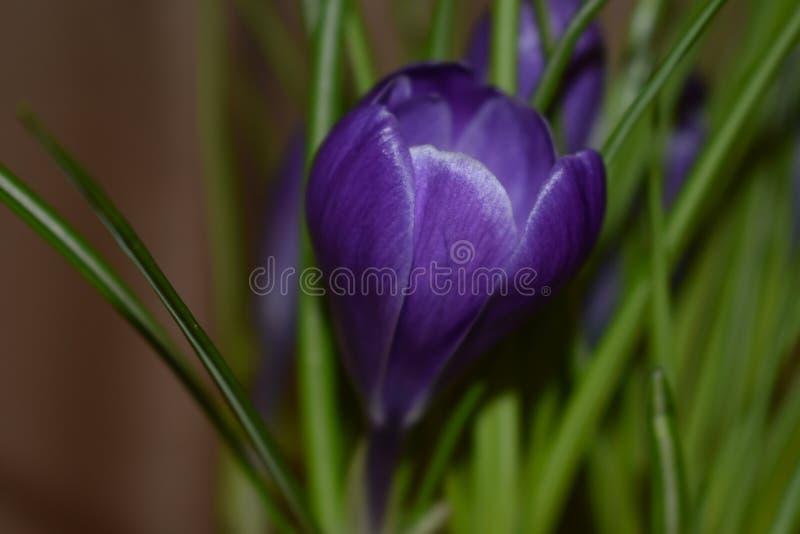 Crocus fleurissant au printemps image libre de droits