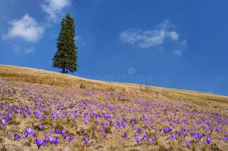 Crocus fleurissant dans le pré photographie stock libre de droits