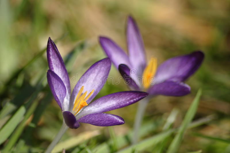 Download Crocus flower stock image. Image of iris, leaf, liliidae - 19102841