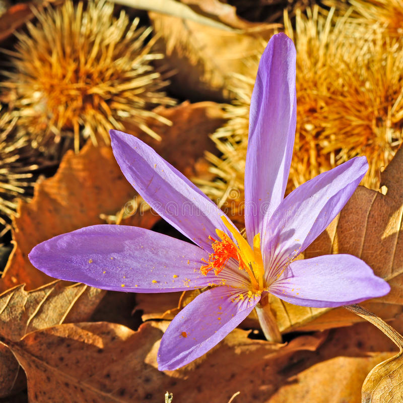 Download Crocus flower stock photo. Image of chestnut, forest - 21866518