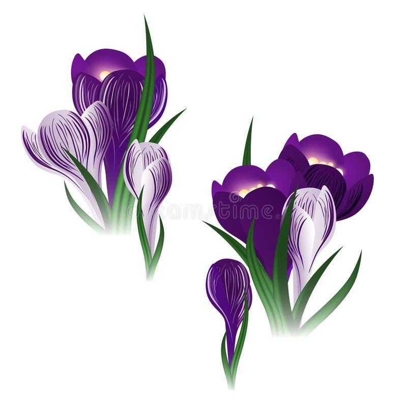 Download Crocus flower stock vector. Illustration of violet, garden - 24032719