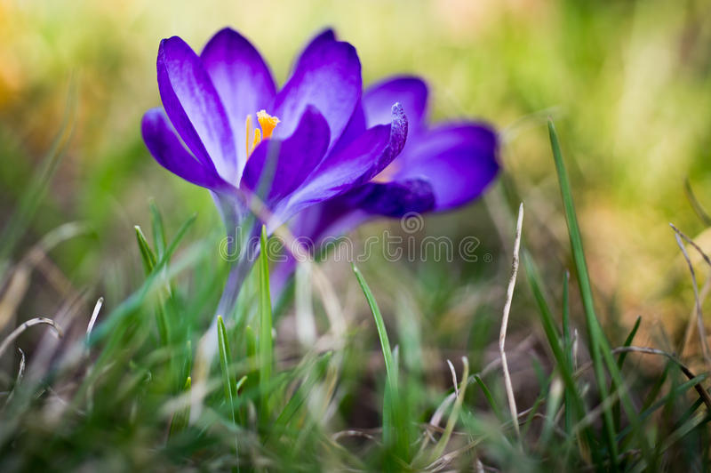 Crocus flower. Shallow depth of field royalty free stock images