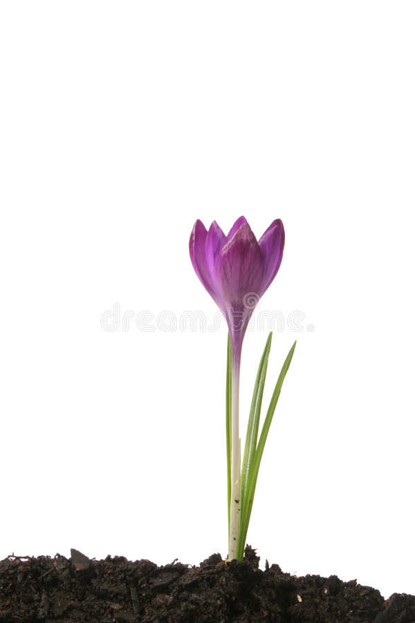 Crocus flower. Crocus bulb with purple flower in soil against white royalty free stock photography