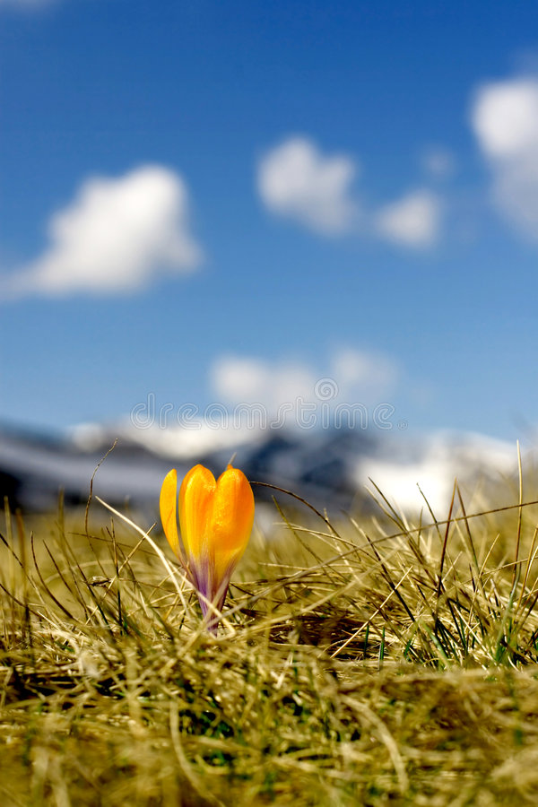 Crocus flower. In a meadow with sky and mountains background royalty free stock photography