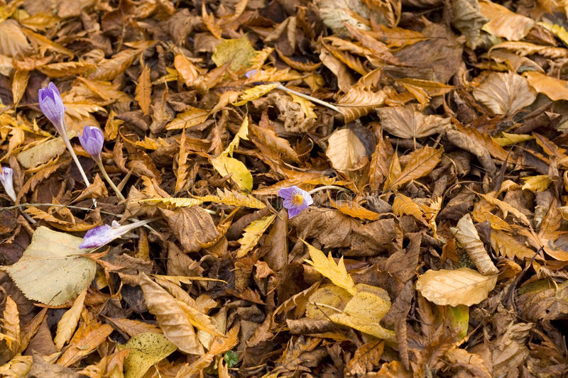 Crocus flower through Autumn leaves. Purple crocus flower among fallen leaves showing their Autumn and Fall colours stock image