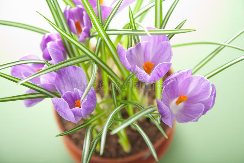 Crocus flower in pot. Over green background stock images