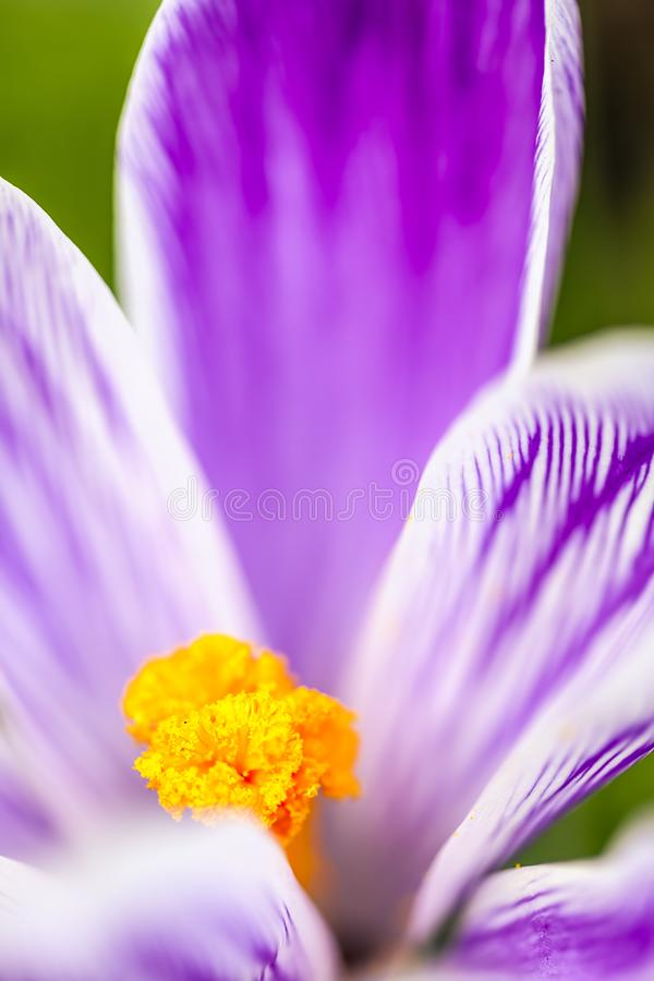 Crocus Flower. Selective focus on a Crocus flower, Norwich UK, background, beautiful, beauty, blossom, bright, close-up, cold, freshness, , life, macro, nature royalty free stock image