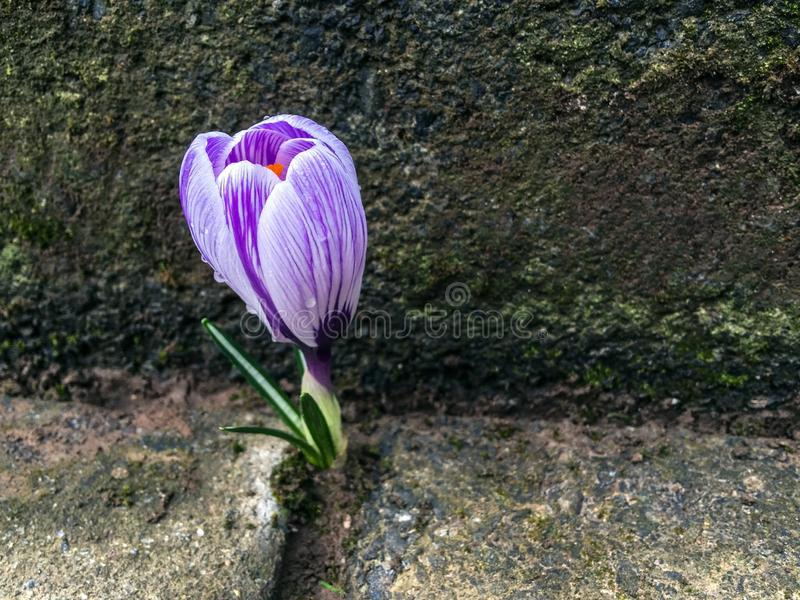 Crocus flower sprouted between pavement tiles. Snapshot from mobile phone stock images