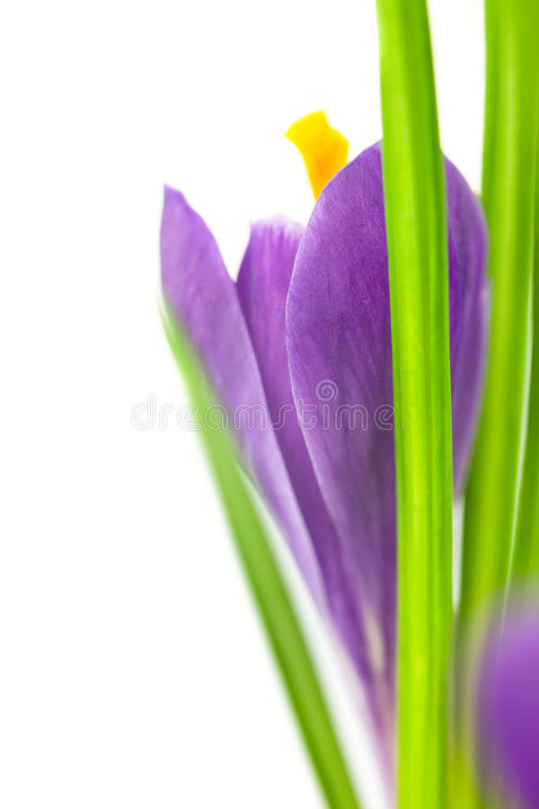 Crocus Flower / Super Macro Background With  Copy Space Stock Photography