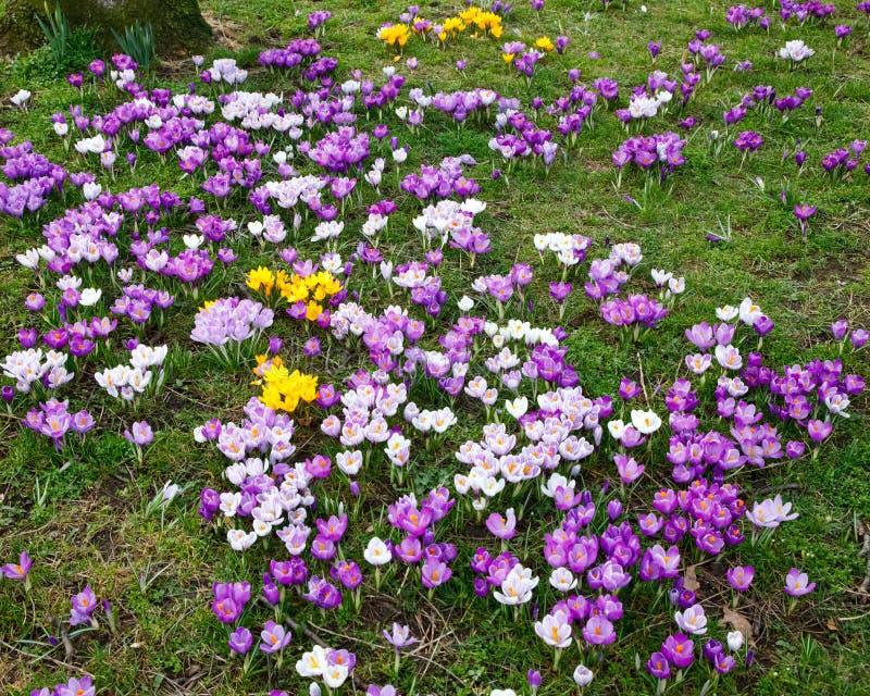 Download Crocus Flowers Royalty Free Stock Image - Image: 12797696