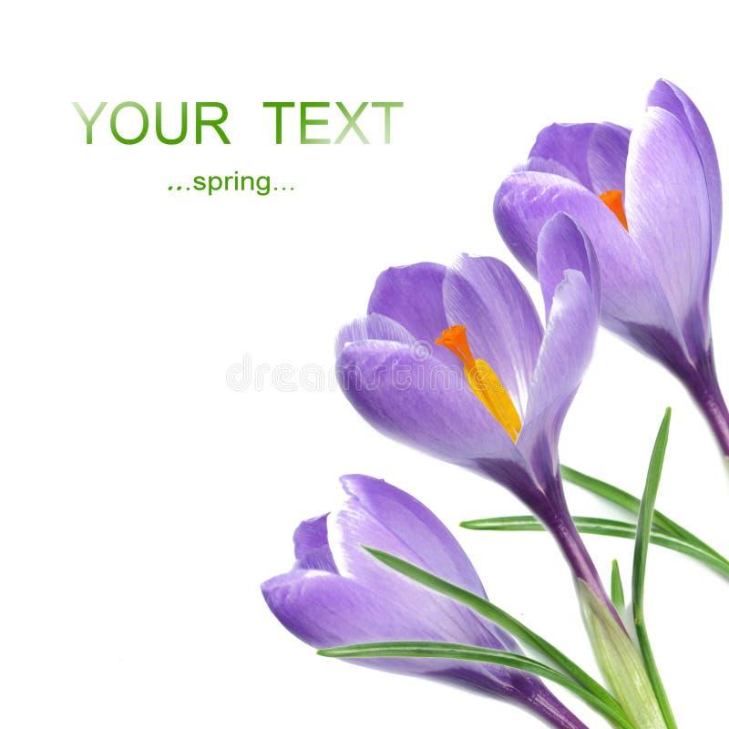 Download Crocus flowers stock photo. Image of feminine, closeup - 17925394