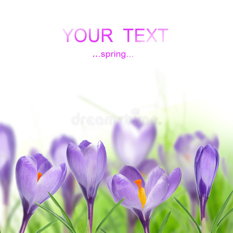 Download Crocus flowers stock photo. Image of elegant, delicate - 17925492