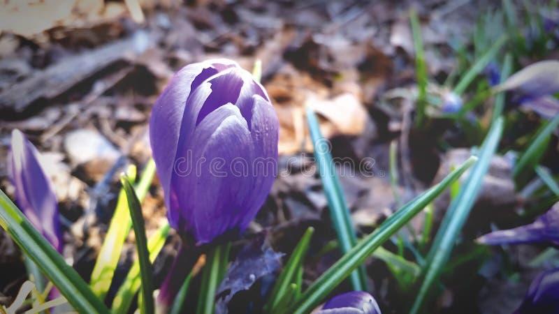 Crocus Flowers Free Public Domain Cc0 Image