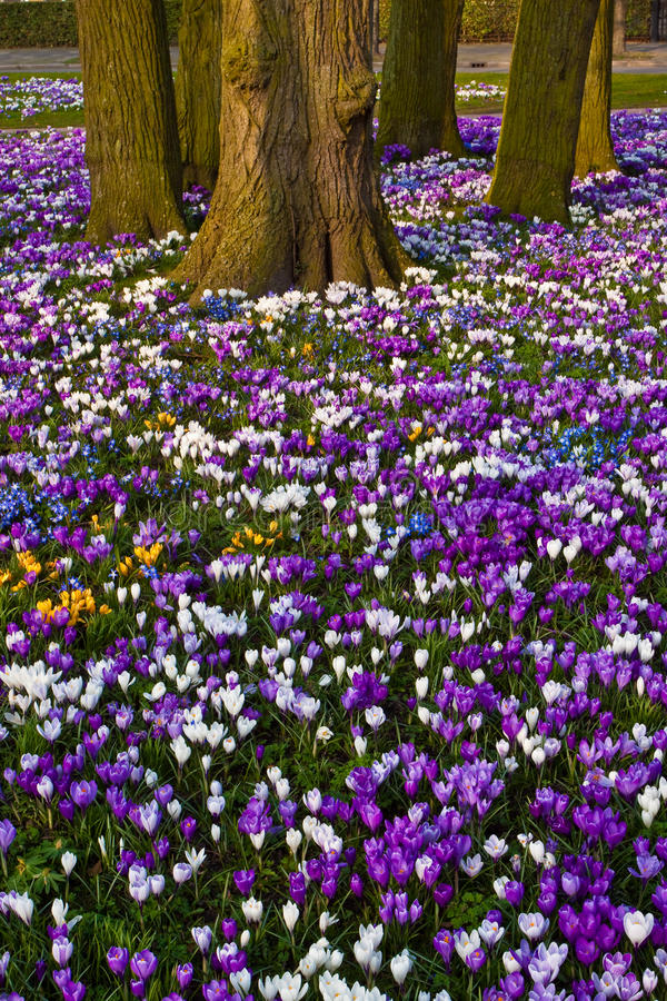 Crocus flowers royalty free stock photography