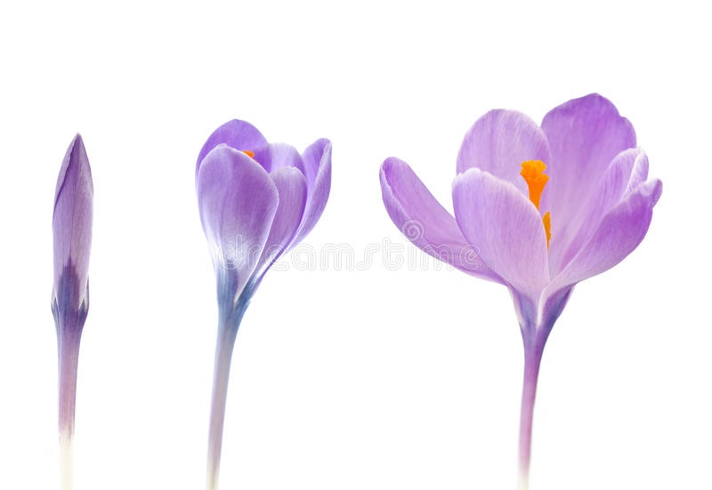 Download Crocus flowers blooming stock photo. Image of natural - 23792630