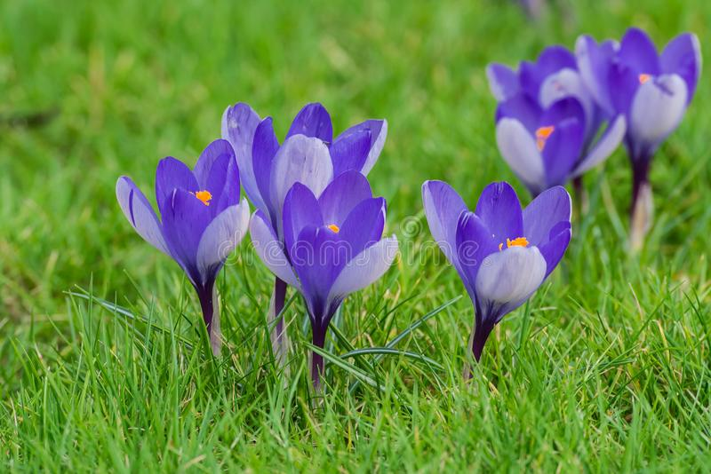 Crocus, flowers stock image