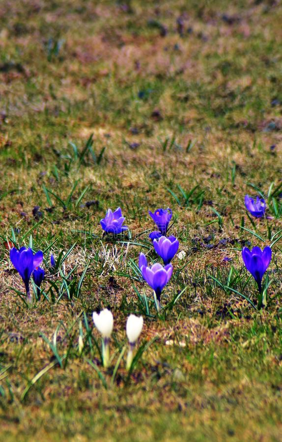Crocus flowers field, white and dark blue flowers at green grass background. stock images