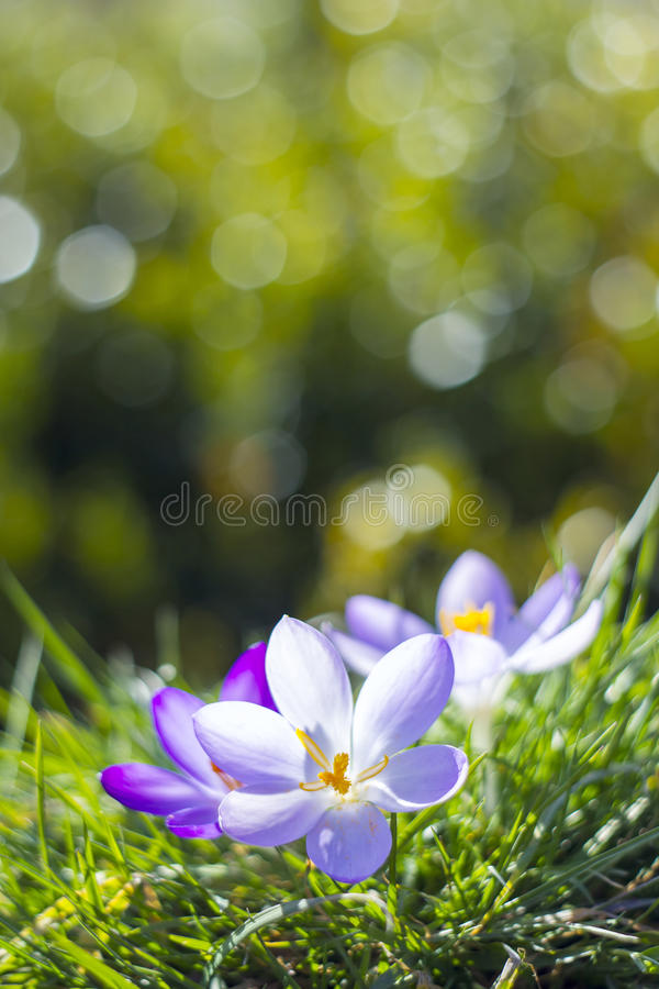 Crocus flowers. Crocus - one of the first spring flowers stock photography