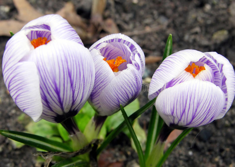 Crocus flowers royalty free stock images