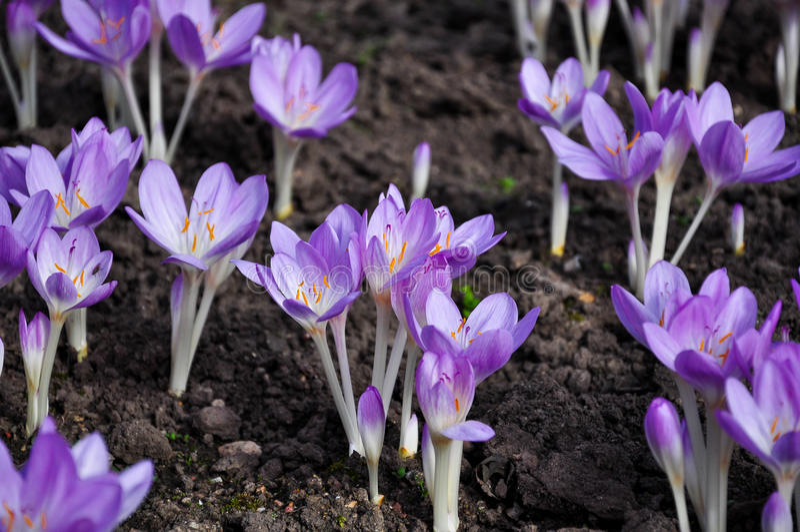 Crocus flowers. Violet crocus flowers in springtime royalty free stock photos