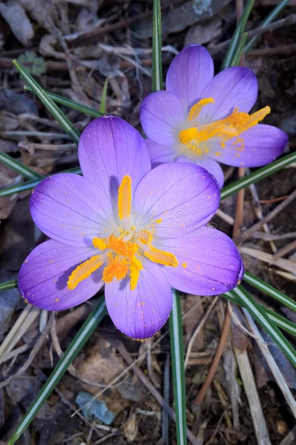 Crocus `Grand Maître`. Grand Maitre is rich sea lavender-violet with silvery sheen paler margins and orange anthers. They have graceful, six-petaled 5` tall royalty free stock photography