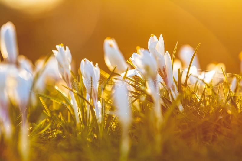 Crocus growing outside on soil bed, lit with sunlight from behind royalty free stock photography