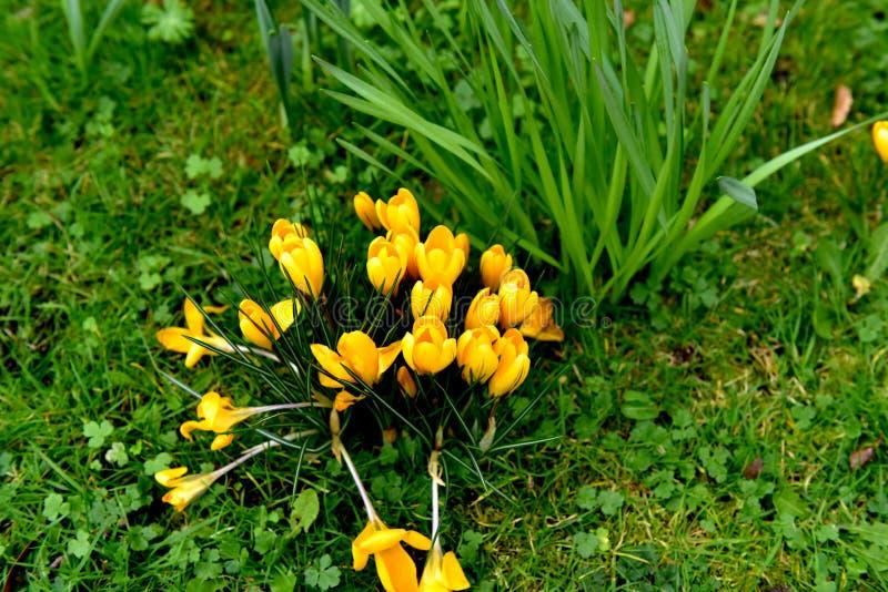 Crocus jaune photographie stock