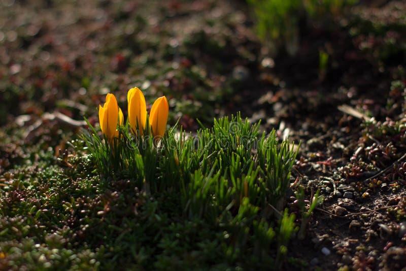 Crocus jaune de floraison d'hiver photos stock