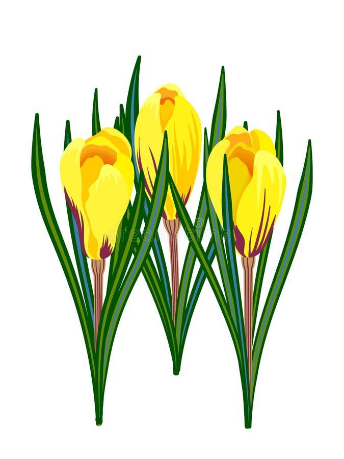 Crocus jaunes d'isolement sur le fond blanc photos stock
