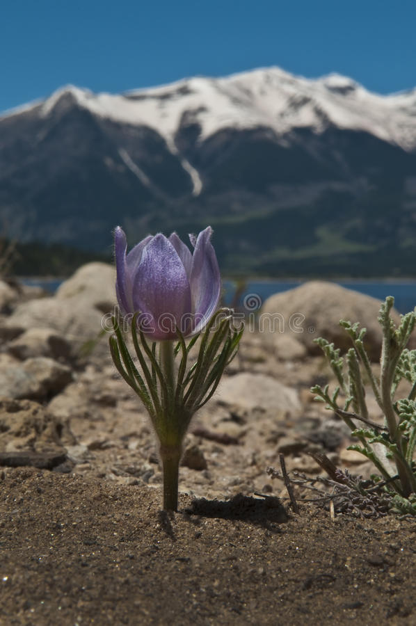 Download Crocus in the Mountains stock photo. Image of snow, mountains - 18445746