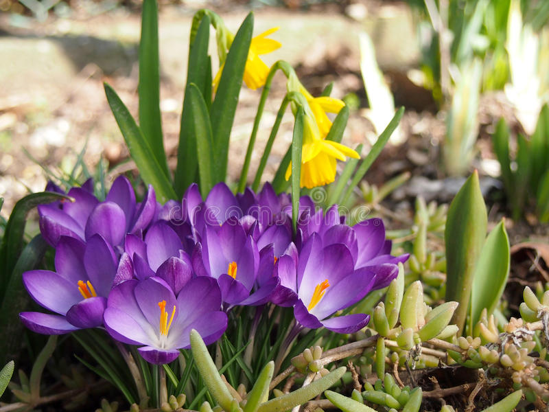 Crocus and narcissus flowers in garden stock photos