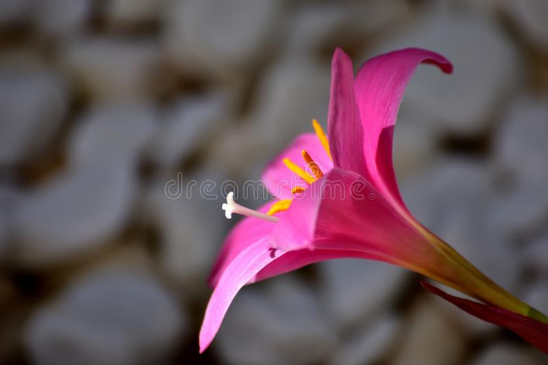 Crocus with pink petals and yellow stamens stock photography