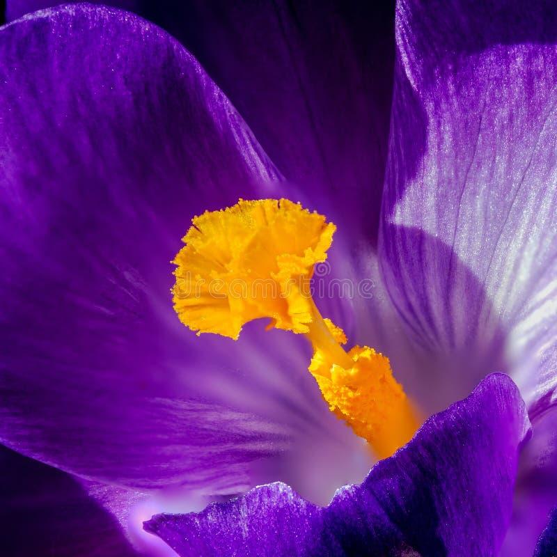 Crocus pistil, saffron flower. Pistil oranges of violet crocus stock photography