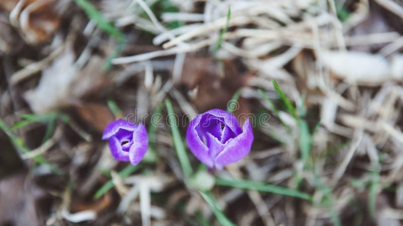 Crocus, plural crocuses or croci is a genus of flowering plants in the iris family stock photos