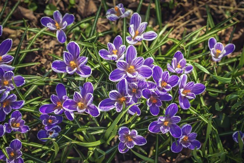 Crocus pourpre de floraison, bourdon, première primevère de fleurs de ressort Fond botanique de ressort image stock