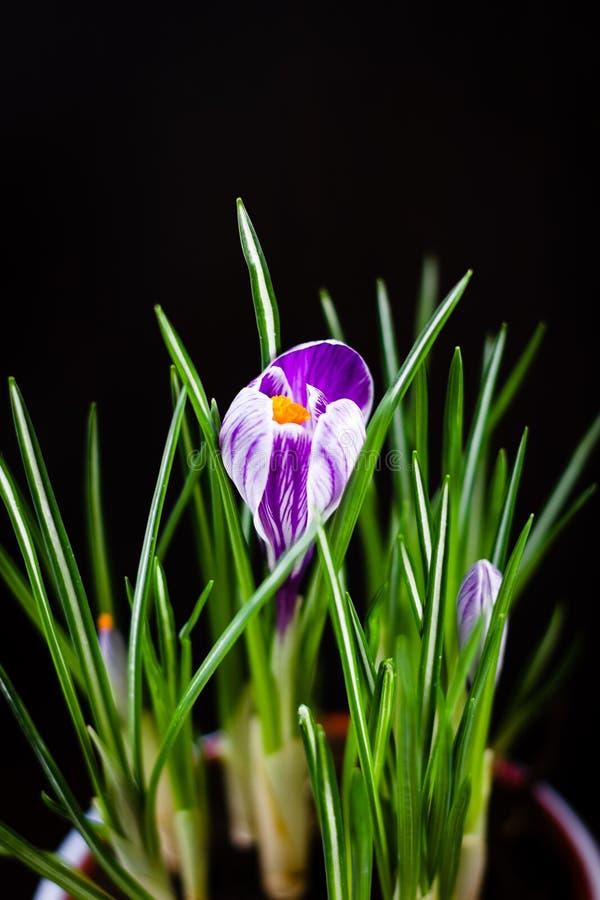 Crocus pourpre de la première fleur de printemps sur fond noir image libre de droits