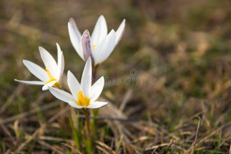 Crocus primrose. First spring flowers. Almaty, Kazakhstan stock images