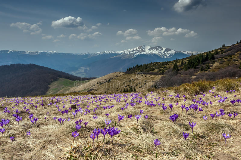 Download Crocus stock photo. Image of scene, landscapes, forest - 38935540