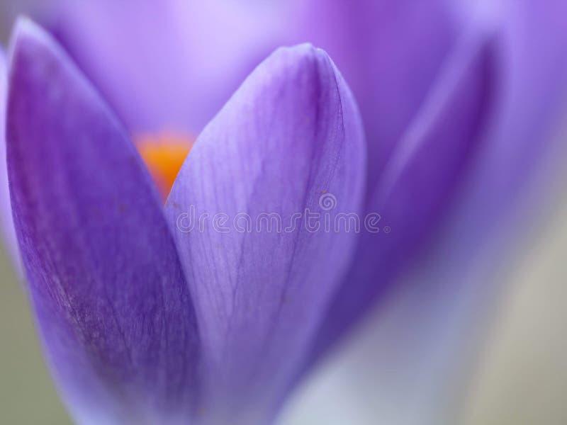 Crocus. Purple soft crocus in spring stock image