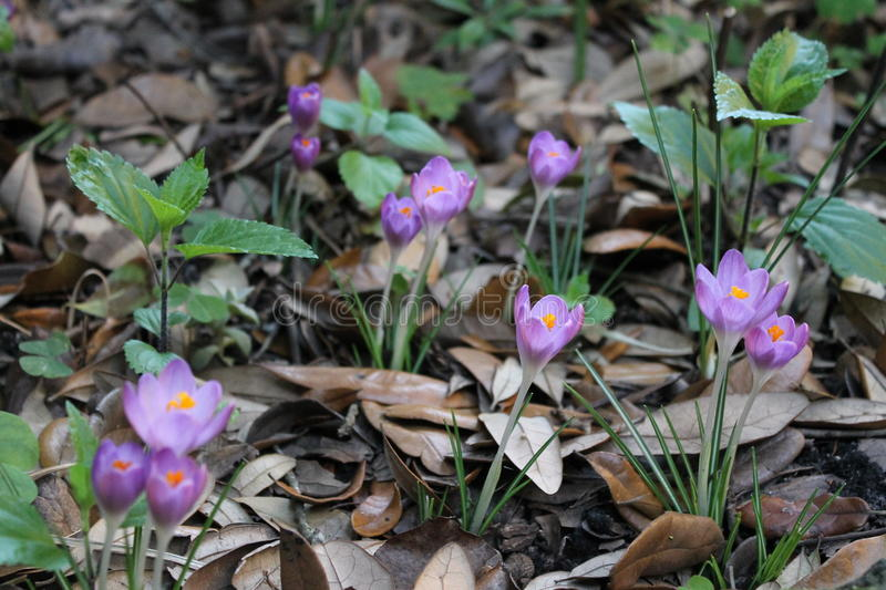 Crocus 01 royalty free stock images