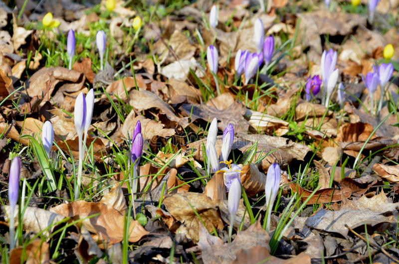Crocus safran. New life emerging between dead leaves – early spring royalty free stock image