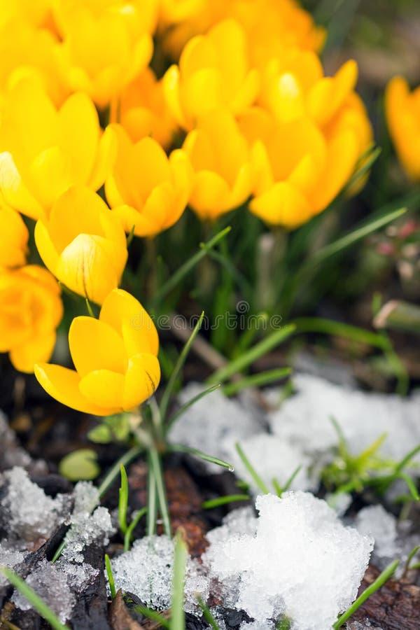Crocus sativus giallo fra i cristalli di ghiaccio, molla di concetto fotografie stock
