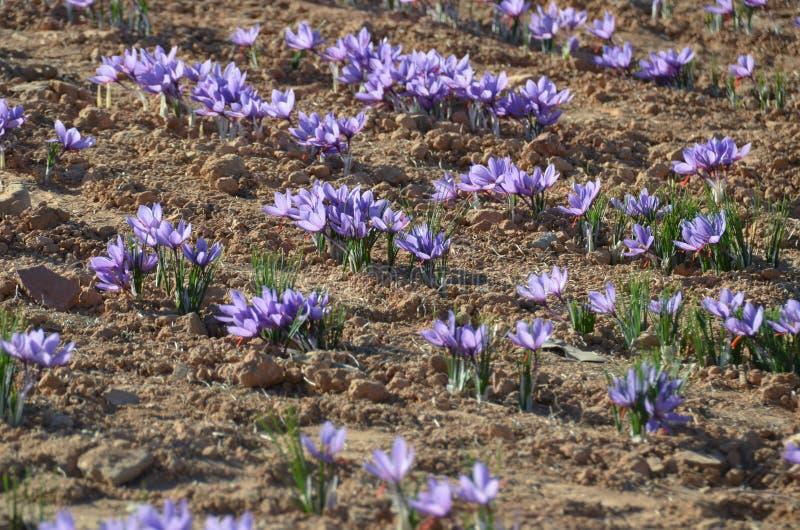 Crocus Sativus saffron im Feld stockbilder