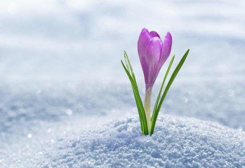 Crocus in snow. Purple spring flower stock photos