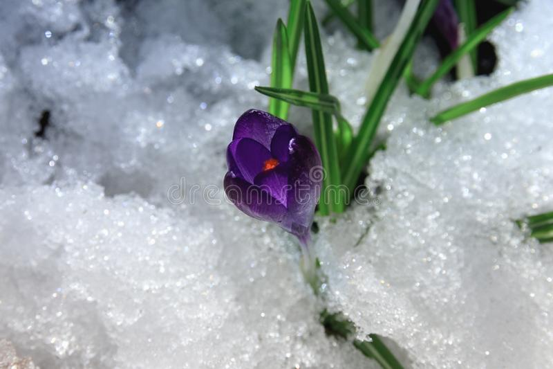 Crocus in the snow in spring. Beautiful spring purple flower primrose in the sun on the snow in the morning. Crocus botanical sprouted through the snow on a stock image