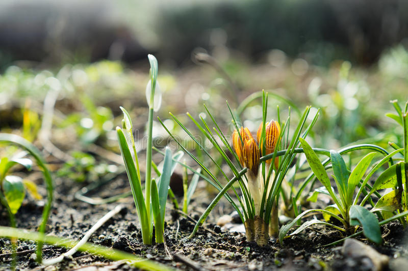 Crocus and Snowdrop. Snowdrops and crocusses in the middle of winter, first sings of the approaching spring stock image